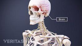 Transparent, anterior view of the skeleton revealing the brain