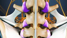 Posterior view of tendons and ligaments in the vertebrae.