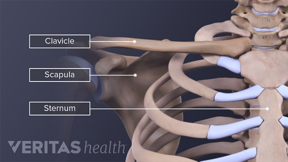 Anatomy of the thorax including the sternum, clavicle, and scapula