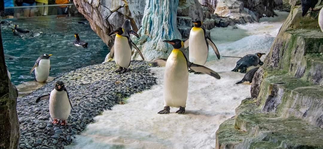 A flock of penguins at SeaWorld Orlando