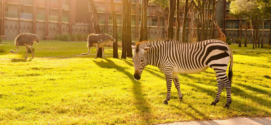 Zebra in the foreground with a giraffe in the background at Disney's Animal Kingdom Villas