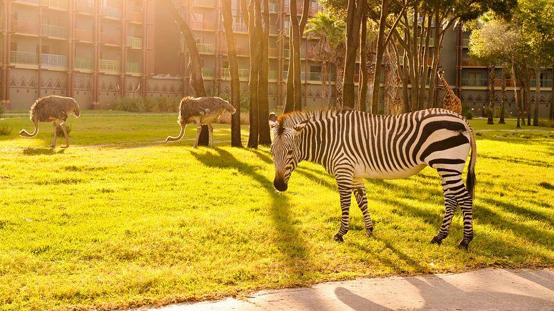 Zebra outside of Disney's Animal Kingdom Lodge