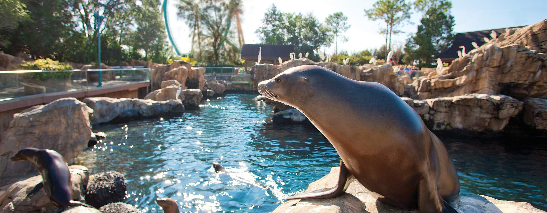 Sea lions with roller coasters in the background at SeaWorld Orlando.