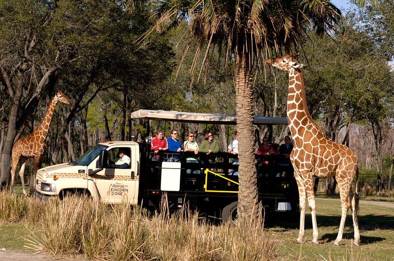 Giraffes passing by car at Animal Kingdom Lodge Wanayama Safari