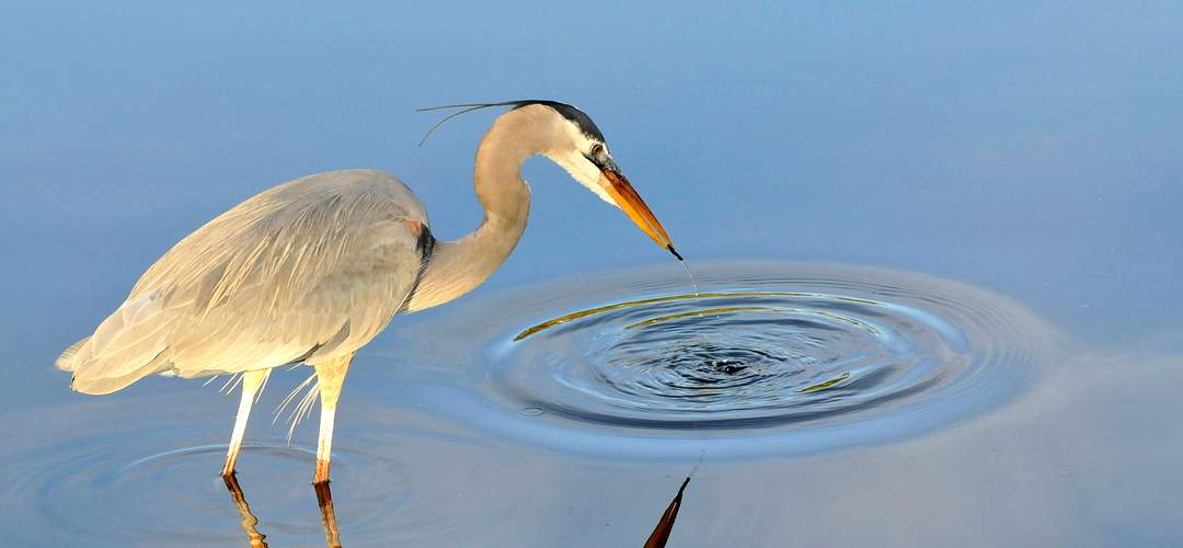 Blue heron in the water at Gatorland Orlando