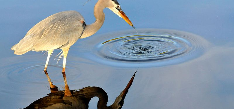 A heron hunts for fish in a lake