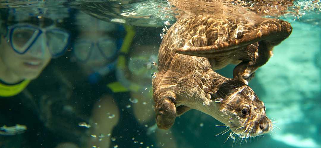 Lontra nadando embaixo d'água, e crianças ao fundo, mergulhando com snorkel e observando a lontra