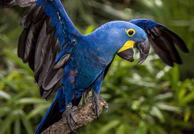 Hyacinth Macaw at Brevard Zoo in Melbourne Near Orlando