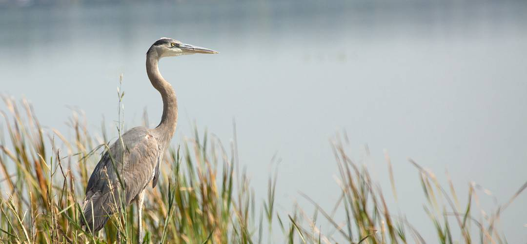Great blue heron standing in marsh grasses in Magnolia Park on the shore of Lake Apopka in Florida