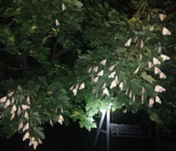 monarch butterflies resting in a tree at night