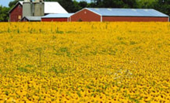 farm field full of bright yellow flowers