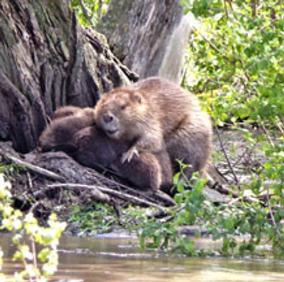 two beavers by creek