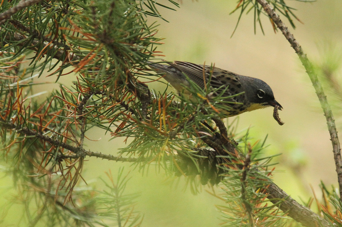 Kirtland's warbler perched on branch with worm in beak