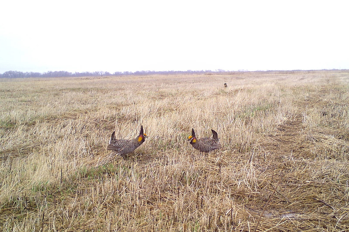 Two prairie chickens face off in a grassy field