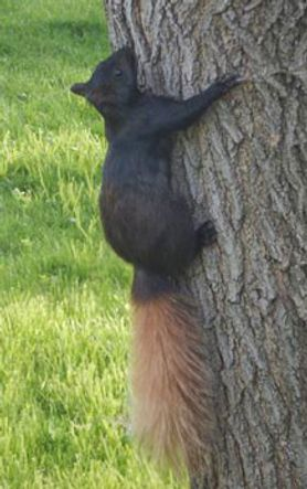 black squirrel climbing a tree