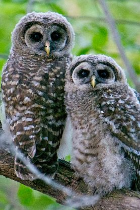 barred owlet and owl adult