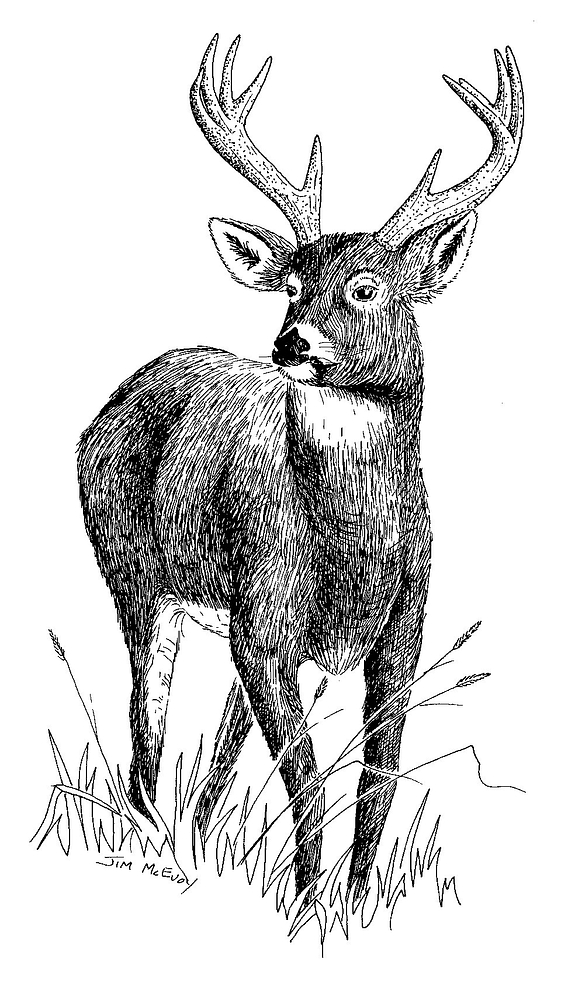 black and white drawing of a buck