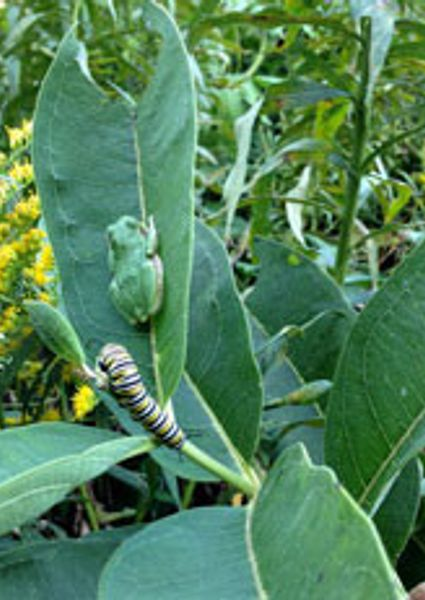 monarch caterpillar and frog on milkweed plant