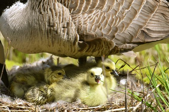 a mother goose and goslings in the nest