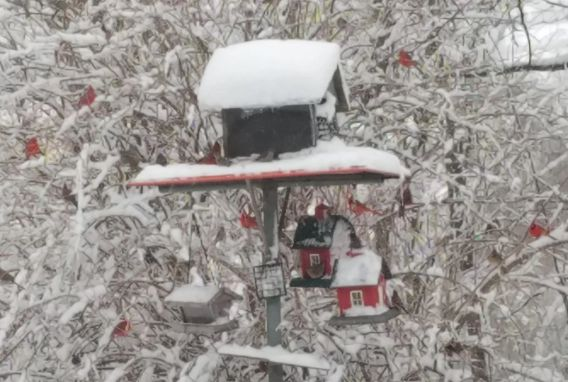 many red cardinals perched in tree next to snow-covered bird feeder