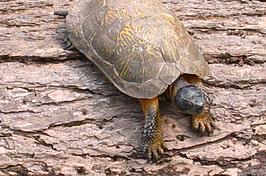 wood-turtle-3.jpg
