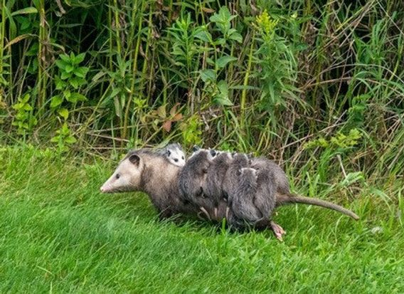 possum with 11 babies on her back