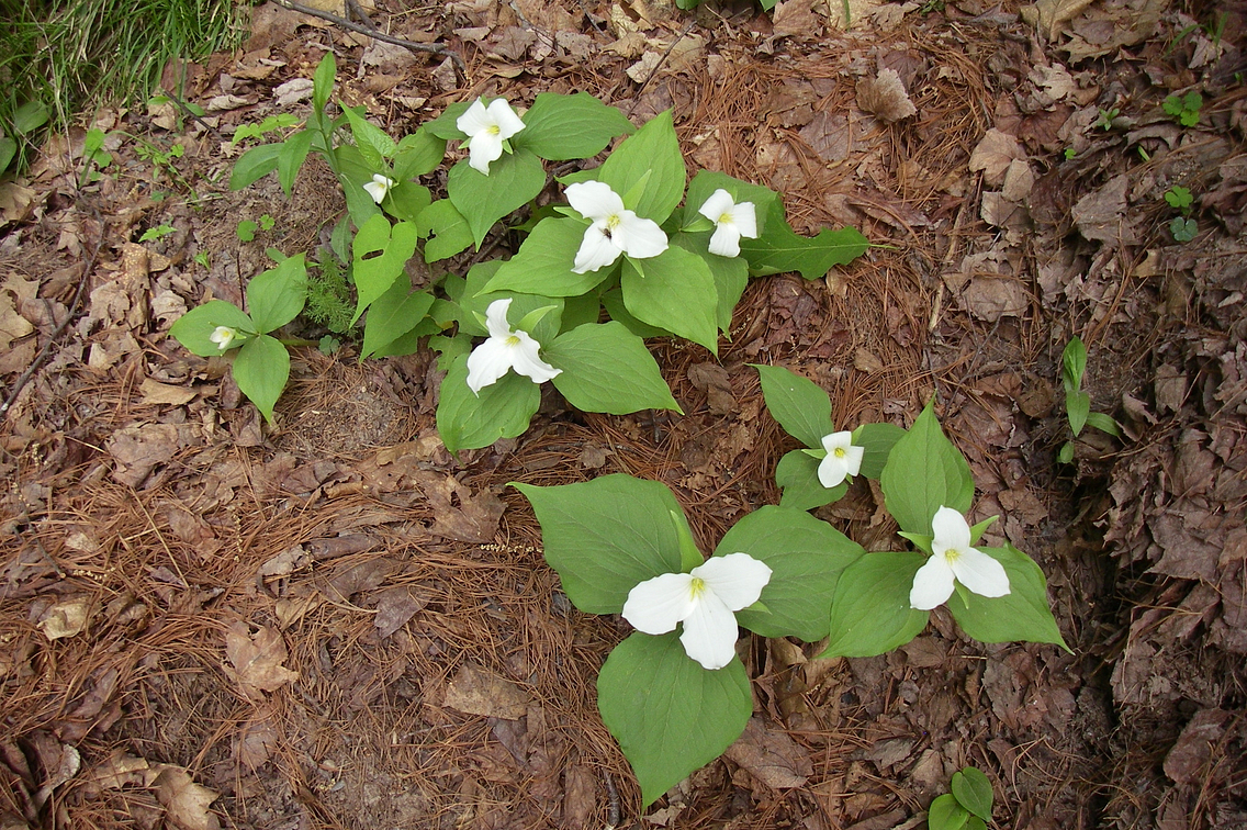 Clump of white trillium in forest setting