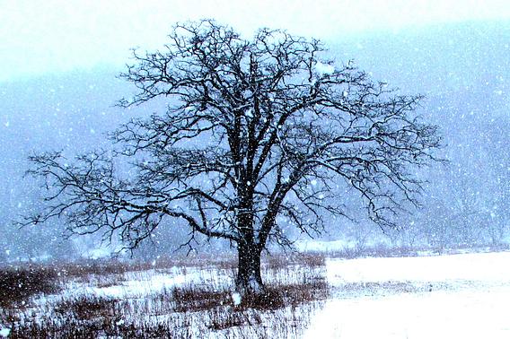 Snow falls on a lone, bare oak tree