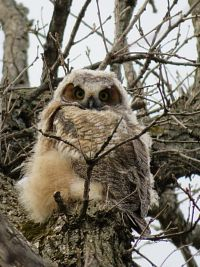 great horned owlet in a tree