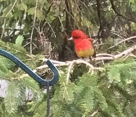 colorful summer tanager at a birdfeeder