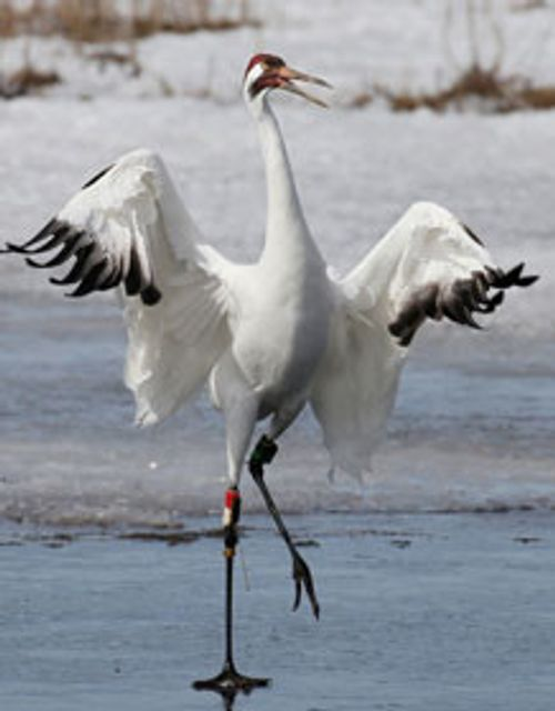 whooping crane with wings spread