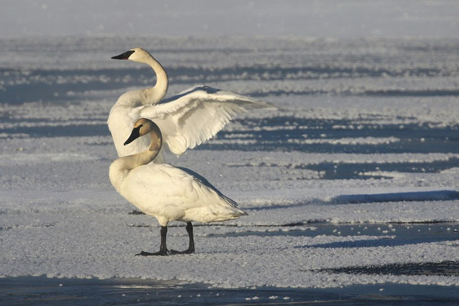 Trumpeter swans near the Fish Hatchery in Woodruff. - Photo credit: DNR