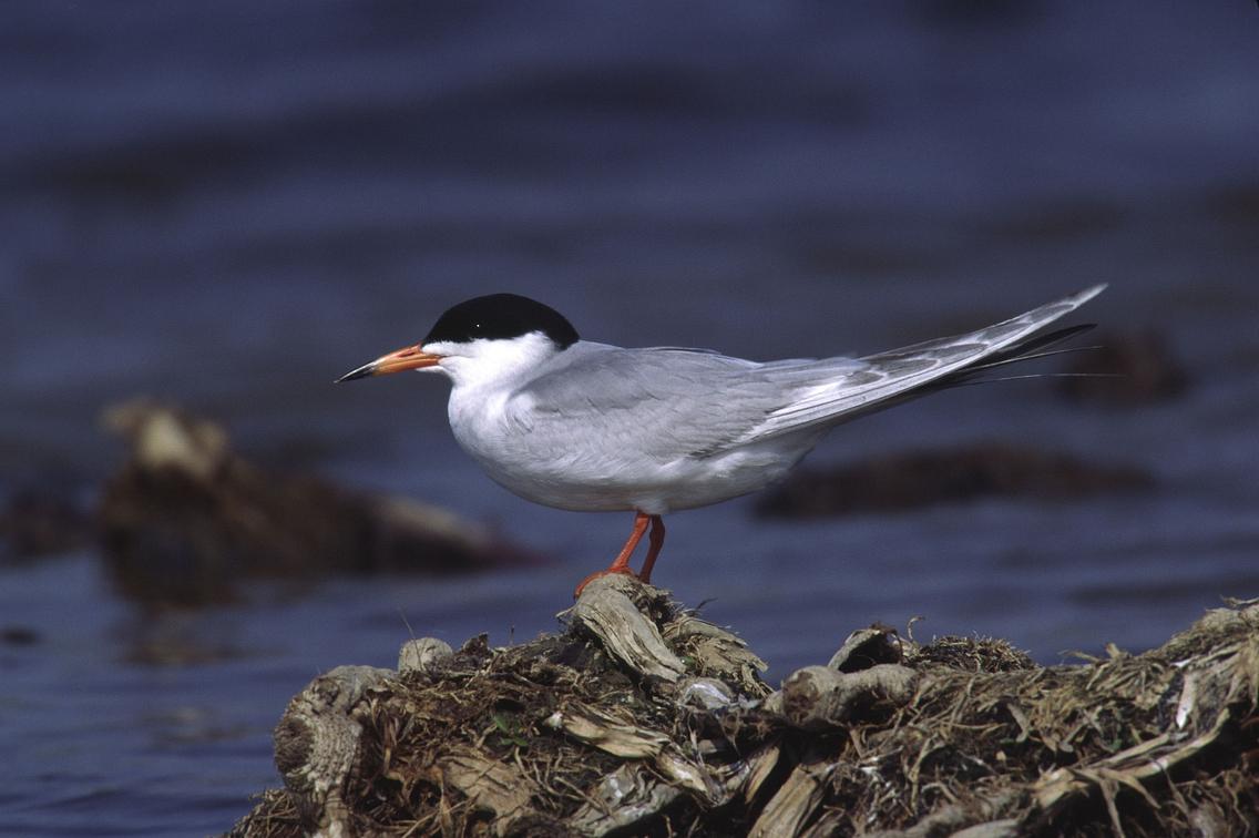 Tern sitting on a rock near water