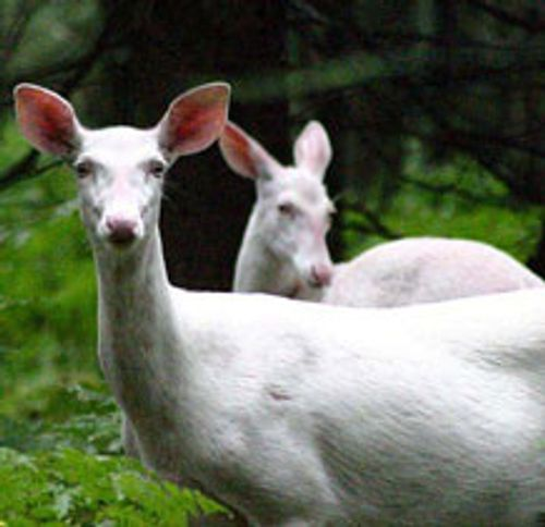 two white deer standing side by side