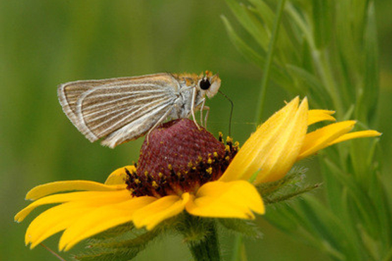 Small, brownish butterfly with white-striped wings sitting on black-eyed susan