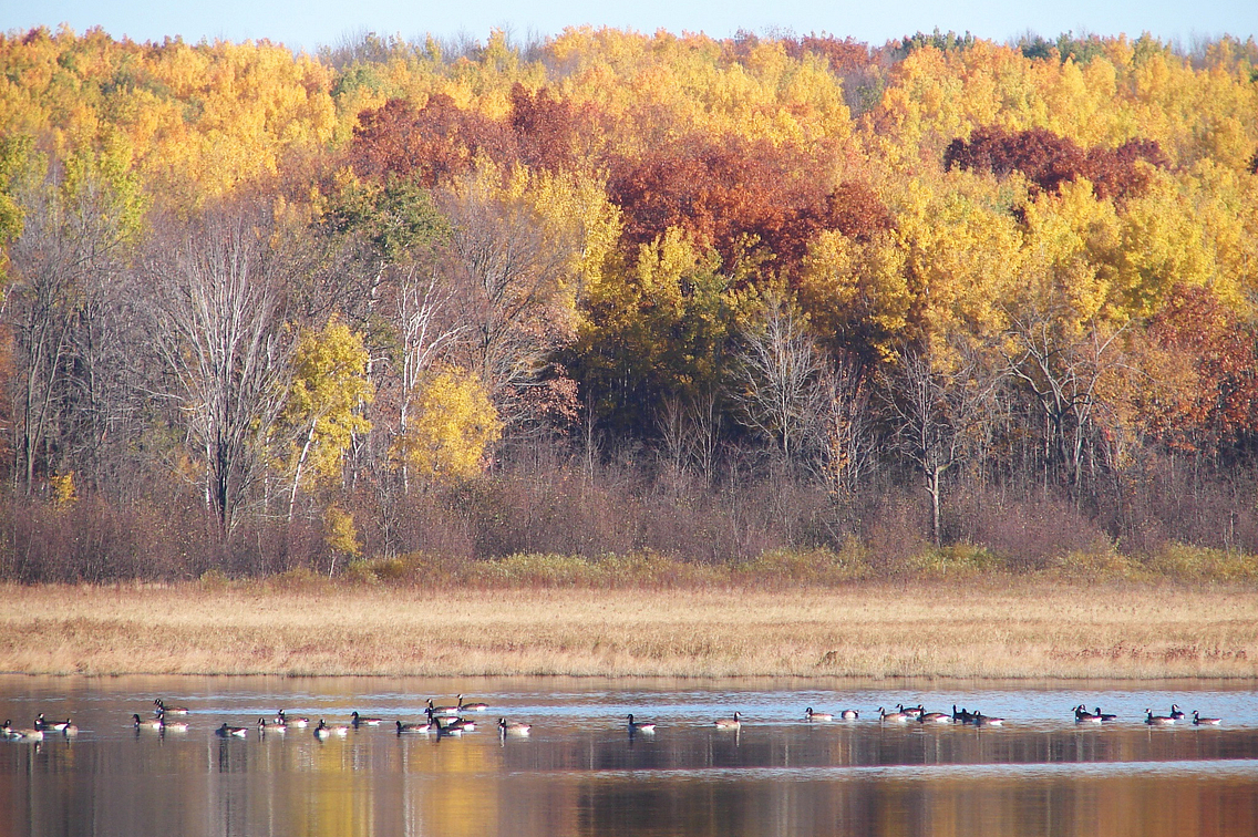 Scenic photo showing marshy area with geese and fall colors