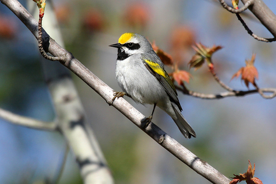 Golden winged warbler perched on a tree branch