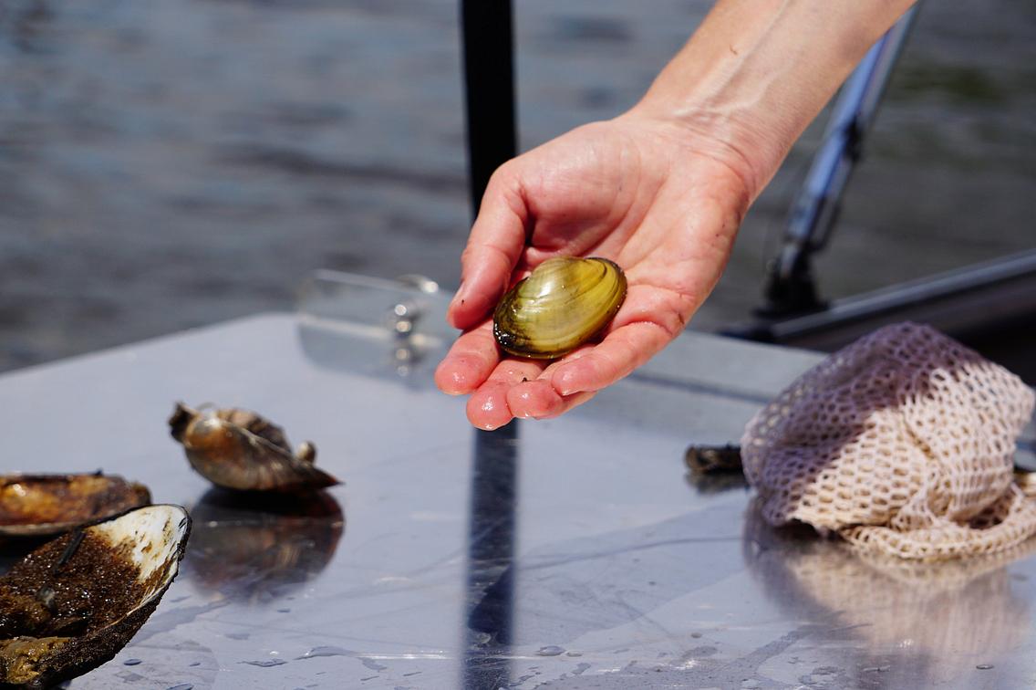A human hand holding a fatmucket mussel