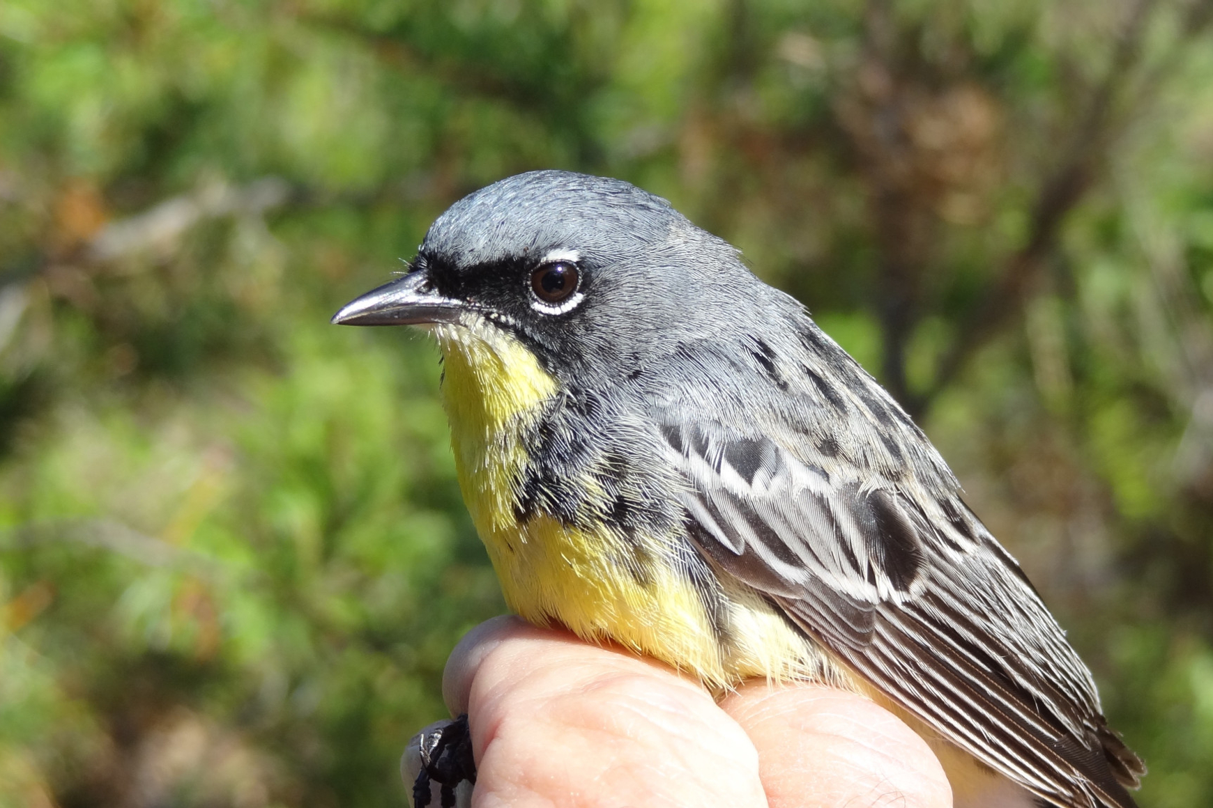 A small grey, yellow-breasted bird held in human hand