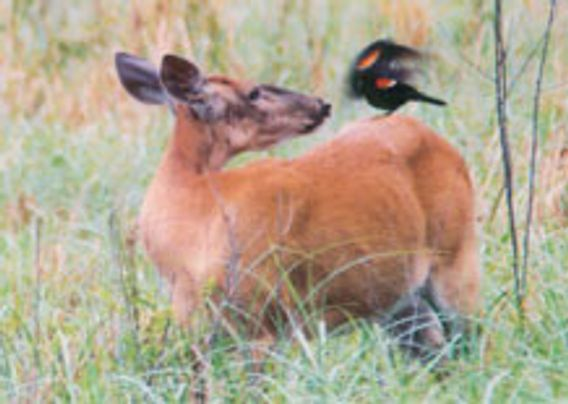 deer with red-winged blackbird on its back