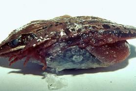 Frozen solid wood frog