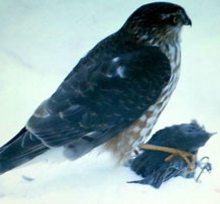hawk preying on a junco