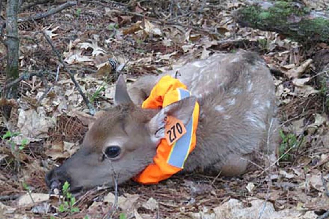 Elk calf with colorful collar lying in bed of leaves