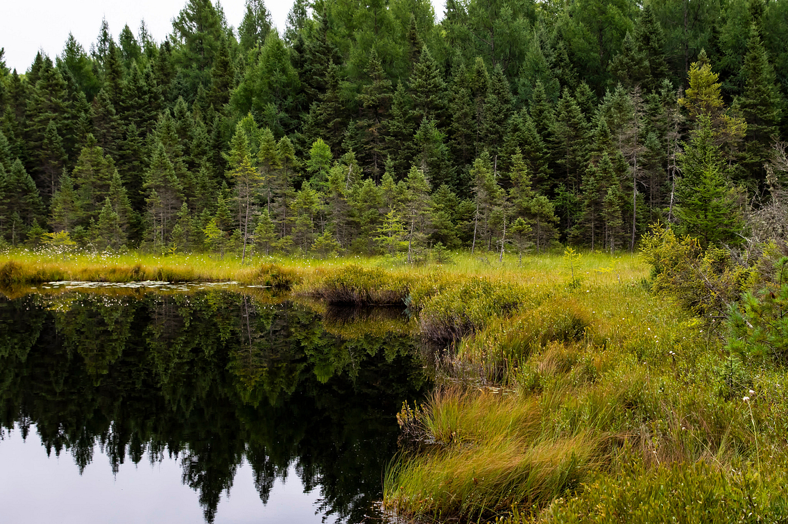 Serene lake surrounded by marsh and evergreen trees