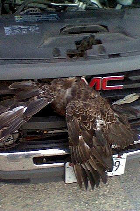 An eagle caught in the grille of a pickup truck