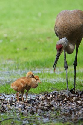 two Sandhill crane colts with adult crane