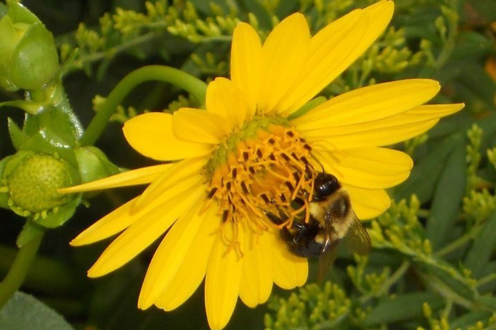 A bee on a yellow, daisy-like flower