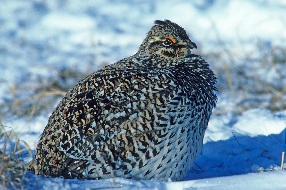 Sharp-tailed-grouse,-female.jpg
