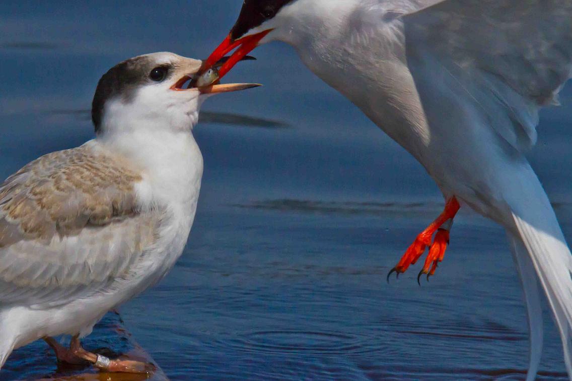 Tern feeding its chick