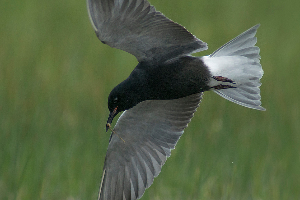 Tern in flight against a grassy background